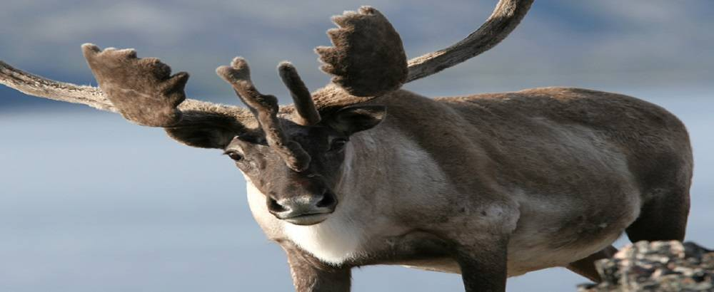 Fourth Meeting of the Ungava Peninsula Caribou Aboriginal Round Table is a success